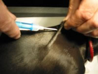 Image: Inserting a micro-chip into animal