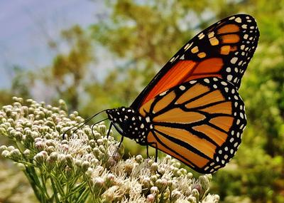Monarch Butterfly at Fort Smallwood Park