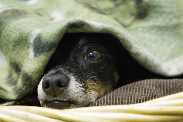 Dog peaking his head from underneath a blanket